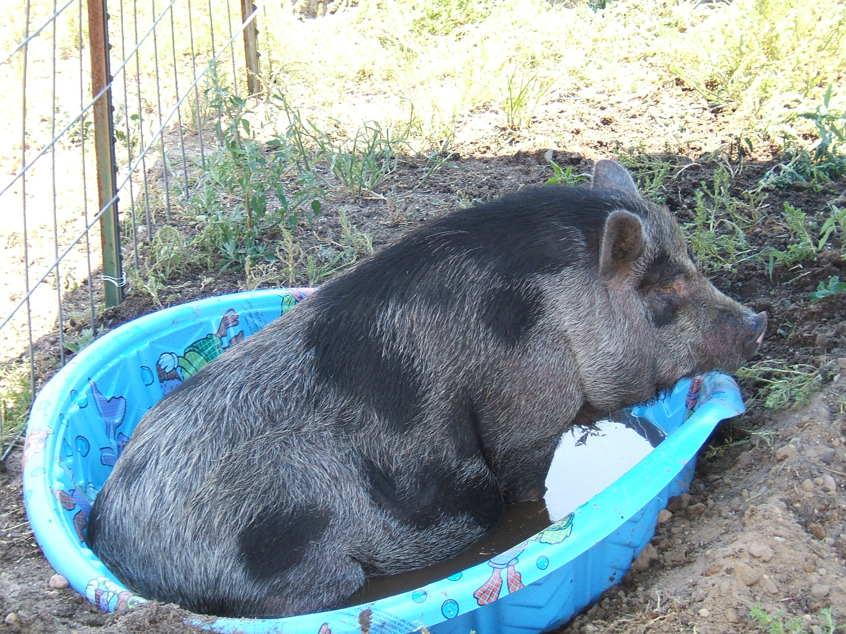 the homestead hog american preppers network american preppers