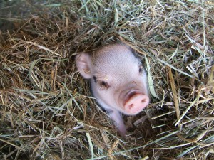 The Homestead Hog!