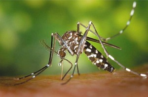 Mosquito asian-tiger-mosquito