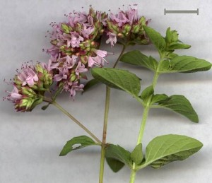 Herbal Antibiotics Origanum vulgare