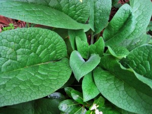 5-17-15 comfrey-leaves PD