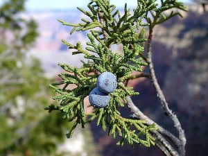 7-27-14 800px-Junipers_berry_berries public domain wikimedia