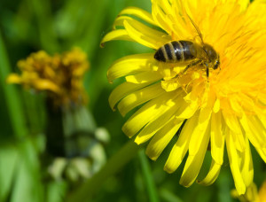 8-30-15 bee-on-dandelion pd