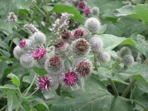 PCOS burdock PD