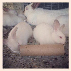 Frugal Living rabbits