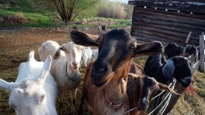 farm Girl goats_2