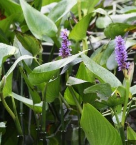Growing pickerel_weed