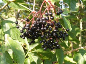 Herbal Medicines Black-Elderberry-Fruit_62739-480x360