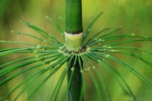 Herbal First Aid Kits Pt2 horsetail-close-up-PD