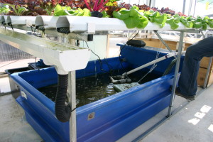 make Aquaponics_with_catfish