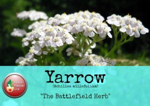 Yarrow The Battlefield Herb