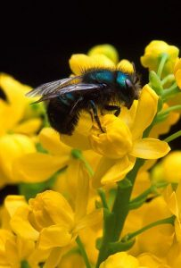 4-30-16 bee_on_barberry_flower public domain