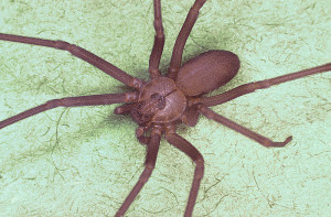 Stings and Bites Brown_recluse_spider,_Loxosceles_reclusa PD