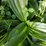 6-26-16 Plantain and Comfrey 001