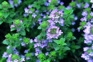 It's About Thyme Thymus Vulgaris Public Domain Image