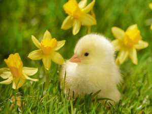 2-24-16 spring_chick_and_daffodils