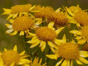Herbal First Aid Kit- Part Three arnica PD
