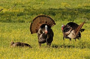 Turkey Hunting with Compound Bow - Top 5 Best Tips