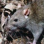 5 tips to keep your homestead rodent free