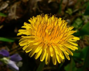 The Dandelion a boon to some bust for others